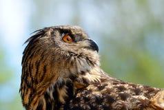 European eagle owl. Bubo Bubo Stock Images