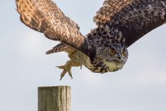 European eagle owl taking off to flight. Bird of prey hunting. Royalty Free Stock Image