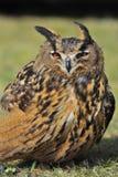 European Eagle Owl Stock Photography