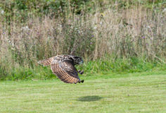 European Eagle Owl Royalty Free Stock Image