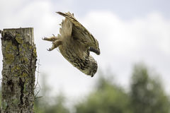 European Eagle Owl diving towards prey. Eurasian eagle owl (bubo bubo), also known as European Eagle owl, descending to attack a ground rodent. The eagle-owl is Royalty Free Stock Images
