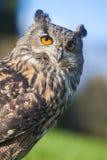European Eagle Owl. European or Eurasian Eagle Owl, Bubo Bubo, with big orange eyes stock images