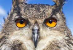 European Eagle Owl. European or Eurasian Eagle Owl, Bubo Bubo, with big orange eyes royalty free stock photography
