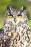European Eagle Owl. European or Eurasian Eagle Owl, Bubo Bubo, with big orange eyes royalty free stock photo