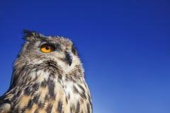 European Eagle Owl. European or Eurasian Eagle Owl, Bubo Bubo, with big orange eyes against a dark blue evening night sky royalty free stock photo