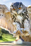 European Eagle Owl. European or Eurasian Eagle Owl, Bubo Bubo, with big orange eyes landing on a tree stump stock photography