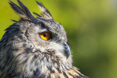 European Eagle Owl. European or Eurasian Eagle Owl, Bubo Bubo, with big orange eyes and a natural green background royalty free stock photography