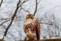 European eagle owl. Eurasian . Close-up face. Big eyes. wisdom. The evil eye. Stock Photo