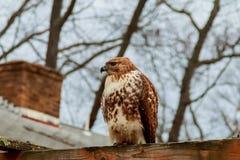 European eagle owl. Eurasian . Close-up face. Big eyes. wisdom. The evil eye. Royalty Free Stock Image