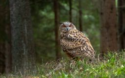 European eagle-owl or Eurasian eagle-owl, Bubo bubo. It is occasionally abbreviated to just eagle-owl. It is one of the largest species of owl, and females can royalty free stock photos