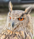 European Eagle Owl. Portrait closeup royalty free stock photography