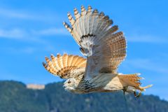 European eagle owl flying. Uhu - European eagle owl flying on a summer day royalty free stock images