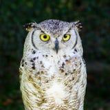 European Eagle Owl. Half body royalty free stock image