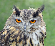 European eagle owl head. Photo of Krista a beautiful 8 year old european eagle owl displaying at whitstable fun day by Many Hoots owl sanctuary on 16th june 2013 stock image
