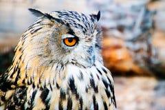 European Eagle Owl. With orange eyes royalty free stock images