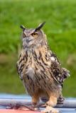 European Eagle Owl. On perch Stock Photos
