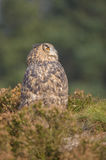 European Eagle Owl Royalty Free Stock Photo