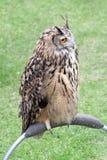 European eagle owl perching Stock Image