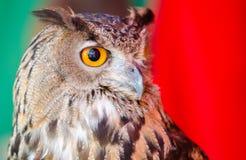 European Eagle Owl. A portrait of the European Eagle Owl stock image