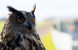 European Eagle Owl. A portrait of a beautiful European Eagle Owl looking for prey royalty free stock image