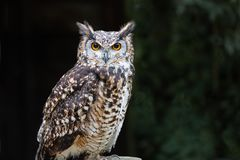 European eagle owl portrait. A close up of a european eagle owl perched on a post and staring forward. Taken against a dark background the eyes are penetrating royalty free stock photo