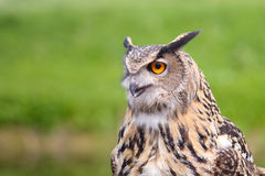 European Eagle Owl. Portrait - one eye showing Royalty Free Stock Photo