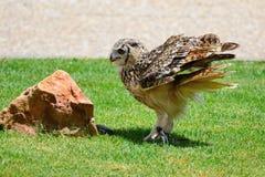 European eagle owl. Portrait of a European eagle owl standing on the grass royalty free stock photos