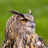 European Eagle Owl Stock Photo