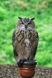 European Eagle Owl on a post Royalty Free Stock Photos