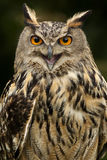 European Eagle Owl - Scottish Highlands Stock Images