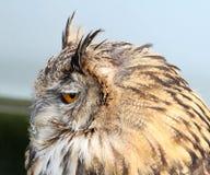 European eagle owl side view Stock Photos