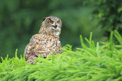 European eagle-owl Royalty Free Stock Image