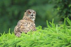 European eagle-owl. Sitting on the bush royalty free stock image