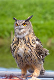 European Eagle Owl. Standing on perch Stock Image