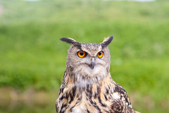 European Eagle Owl. With stunning eyes Royalty Free Stock Images