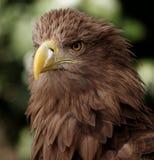 European eagle. Portrait of an european eagle royalty free stock photo