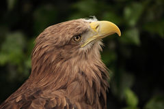 European eagle Stock Image