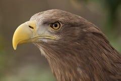 European eagle. Portrait of an european eagle stock images