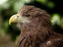 European eagle Stock Images