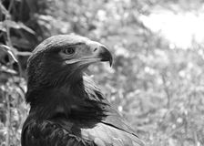 An european eagle in zoo. black and white. Concept of freedom, prison, will, imprisonment Royalty Free Stock Photos