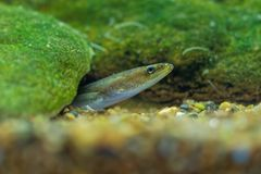Free European Eel - Anguilla Anguilla Is A Species Of Eel, A Snake-like, Catadromous Fish. They Can Reach A Length Of 1.5 M, Juvenile Royalty Free Stock Images - 164853059