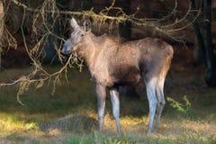 European elk Stock Photo