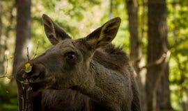 European elk Alces alces calf eating leaves from brances, vertical image. European elk Alces alces, in the forest, wo young calf eating leaves, from an elk park Stock Photo