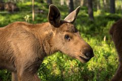 European elk Alces alces calf in green bilberry bushes Stock Images