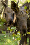 European elk Alces alces two calves eating leaves from brances, vertical image stock photo