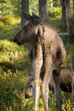 European elk Alces alces two calves seen from behind vertical image. European elk Alces alces, in the forest, young calf seen from behind, and another calf in Royalty Free Stock Photos