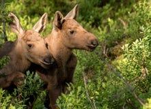 European elk Alces alces two twin calves in bilberry bushes. European elk Alces alces, in the forest, two young calves in the bilberry bushes, from an elk park Stock Photography