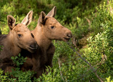 European elk Alces alces two twin calves in bilberry bushes. European elk Alces alces, in the forest, two young calves in the bilberry bushes, from an elk park Stock Photo