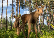 European elk Alces alces two twin calves in bilberry bushes. European elk Alces alces, in the forest, two young calves in the bilberry bushes, from an elk park Royalty Free Stock Photography