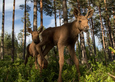 European elk Alces alces two twin calves in bilberry bushes. European elk Alces alces, in the forest, two young calves in the bilberry bushes, from an elk park Stock Images
